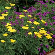 Border Achillea and Geranium Mix (pack of 6)