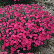 Dianthus Paint the Town Magenta