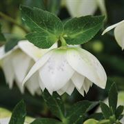 HELLEBORUS 'Confetti Cake' - WEDDING PARTY? Series