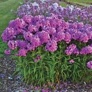 Fashionably Early Flamingo Phlox