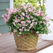 Yuki Cherry Blossom™ Deutzia