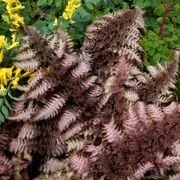 Athyrium Burgundy Lace