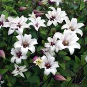 Princess Kate Clematis