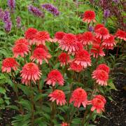 'Supreme Flamingo' coneflower