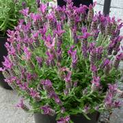 Anouk Deep Rose Spanish Lavender