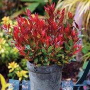 Leucothoe axillaris Leafscape™ 'Little Flames'