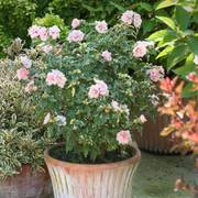 Sugar Tip® Rose of Sharon