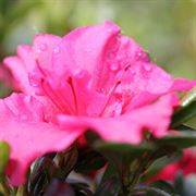 Azalea Bloom-A-Thon� Hot Pink