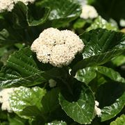 All that Glitters Viburnum
