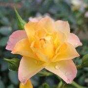 Oso Easy® Italian Ice Shrub Rose