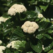 Viburnum All that Glows®
