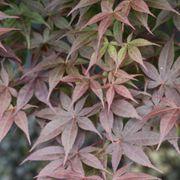 Acer palmatum Rhode Island Red