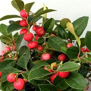 Gaultheria Berry Cascade™