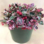 Gaultheria Berry Cascade Wintergreen