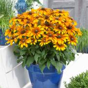 Echibeckia™ Summerina® Butterscotch Biscuit