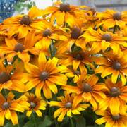 Summerina® Butterscotch Biscuit Echibeckia™