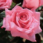 Beautiful Dreamer Hybrid Tea Rose