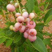 Vaccinium Blueberry Pink Popcorn