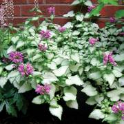 Lamium Purple Dragon