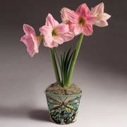 Sweet Star Amaryllis Bulb Garden