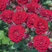 Red Sunblaze® Rose