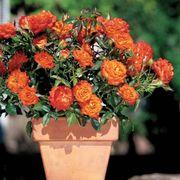 Mandarin Sunblaze® Rose