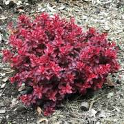 Berberis 'Fireball'