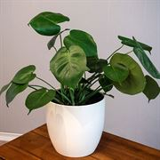 Fiddle Leaf Fig in Black Pot