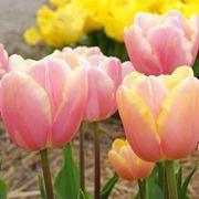 Tulip Triumph Mango Charm