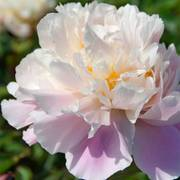 Paeonia 'Lady Alexander Duff'
