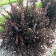 Physocarpus Sweet Cherry Tea™