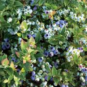 Blueberry Bushel & Berry™ Jelly Bean®