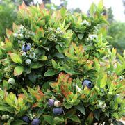 Blueberry Bushel & Berry™ Jelly Bean®
