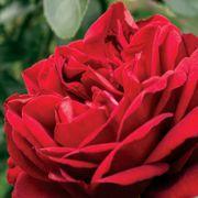 Desmond Tutu Sunbelt® Floribunda Rose