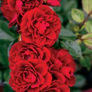 Red Sunblaze® 18-inch Tree Rose