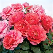 'Honey Bee Haven' Floribunda Rose