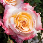 Womens Celebration Hybrid Tea Rose
