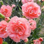 Dianthus Scent First® 'Tall Romance'