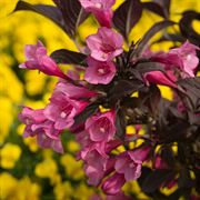 Weigela Bloomin' Easy® Stunner™ Weigela Date Night™ Stunner™