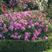 Harlow Carr® Shrub Rose