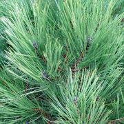 Pinus Austrian Pine
