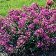 Bellini® Grape Lagerstroemia