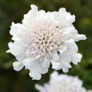 Scabiosa Flutter™ Pure White