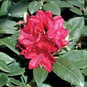 Rhododendron Firestorm