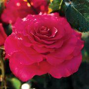 Fame!™ Grandiflora Rose