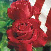 Veterans Honor® Hybrid Tea Rose