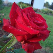 Veterans' Honor® Hybrid Tea Rose
