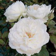 Bolero™ Floribunda Rose