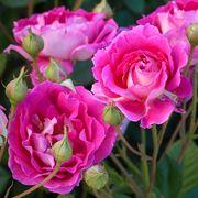 'Mauvelous' Shrub Rose