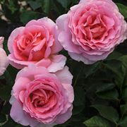 'Dr. Jane Goodall' 36-inch Tree Rose